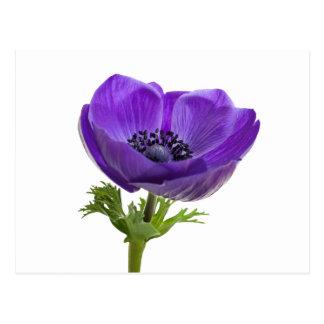 Carte Postale Fleur pourpre d'anémone