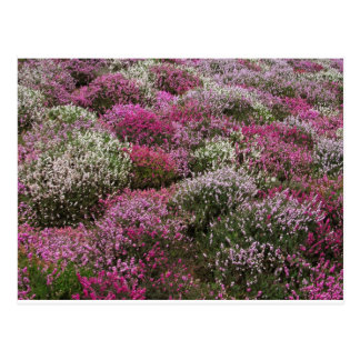 Carte Postale Fleur rose, blanche et pourpre de buissons