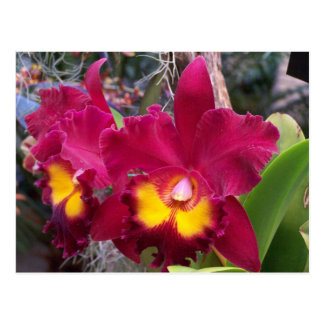 Carte Postale Fleur rose tropicale d'orchidée de cattleya de
