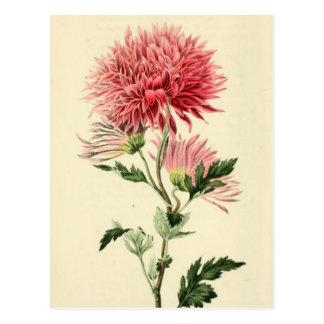 Carte Postale Fleur rose vintage de chrysanthème