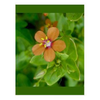 Carte Postale Fleur sauvage de mouron d'écarlate