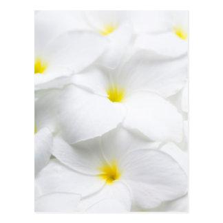 Carte Postale Fleur tropicale hawaïenne de Frangipani blanc de