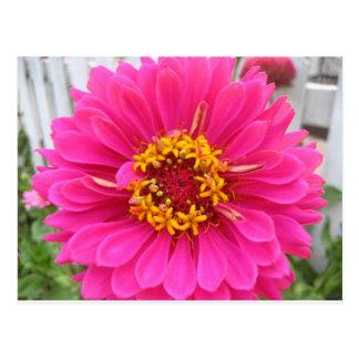 Carte Postale fleur, zinnia juste d'état rose