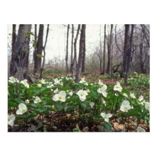 Carte Postale fleurs blanches blanches de Trillium