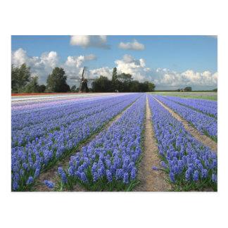 Carte Postale Fleurs bleues de jacinthe dans un domaine Hollande
