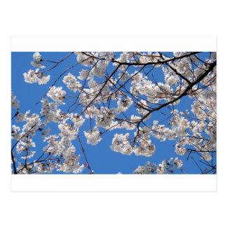 Carte Postale Fleurs de cerisier dans le Washington DC