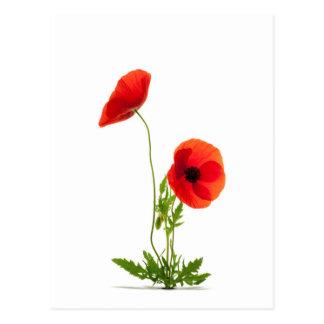 Carte postale - Fleurs de coquelicots fond blanc
