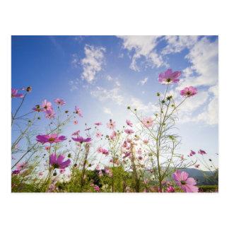 Carte Postale Fleurs de cosmos. Otsu, préfecture de Shiga, Japon