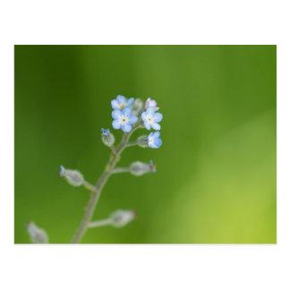 Carte Postale Fleurs de myosotis