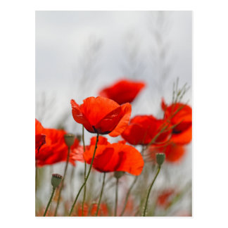 Carte Postale Fleurs de pavot commun dans un domaine