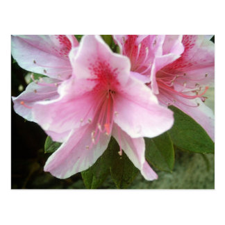 Carte Postale Fleurs de rhododendron