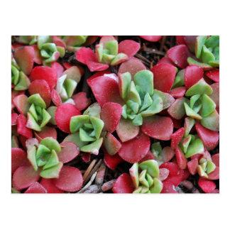 Carte Postale Fleurs de Succulent de montagne