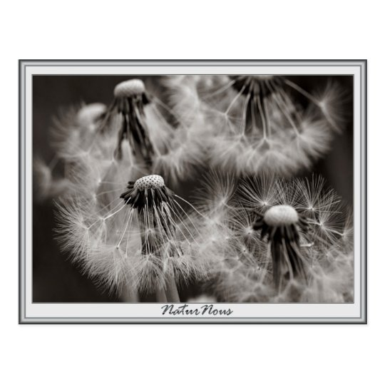 Carte postale fleurs pissenlits