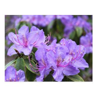 Carte Postale fleurs pourpres élégantes d'azalée, 杜鹃花