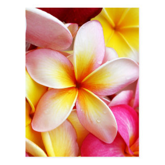 Carte Postale Fleurs pourpres jaunes roses de Frangipani de