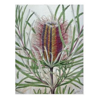 Carte Postale Fleurs roses d'occidentalis de Banksia