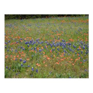 Carte Postale Fleurs sauvages du Texas