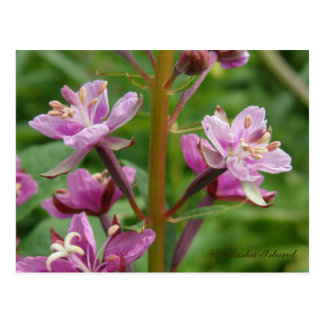 Carte Postale Fleurs variées de Fireweed, île d'Unalaska