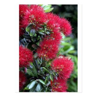 Carte Postale Floraison d'arbre de Pohutukawa