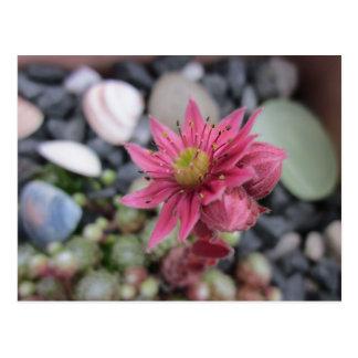 Carte Postale Floraison de jardin de pierre rose
