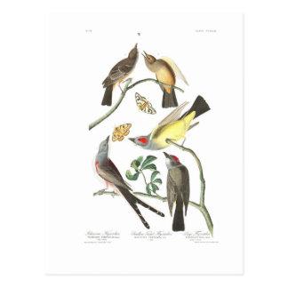 Carte Postale FLYCATCHER d'Arkansaw du plat 359 d'Audubon