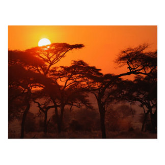 Carte Postale Forêt d'acacia silhouettée au coucher du soleil,