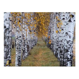 Carte Postale Forêt de bouleau de la Finlande