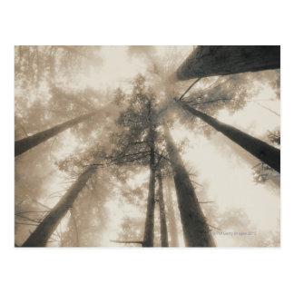 Carte Postale Forêt de séquoia, la Californie du nord