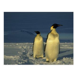 Carte Postale Forsteri de pingouins, d'Aptenodytes d'empereur),