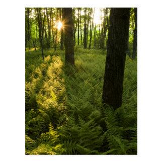 Carte Postale Fougères dans la forêt dans Grafton, le