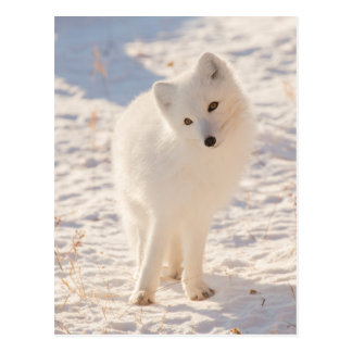 Carte Postale Fox arctique