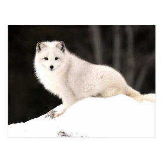 Carte Postale Fox arctique
