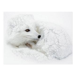 Carte Postale Fox arctique courbé en hiver