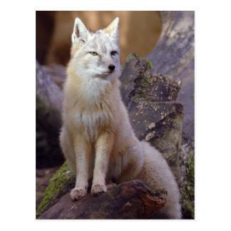 Carte Postale Fox de Corsac