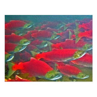 Carte Postale Frai de saumon de saumon rouge couru