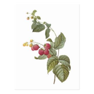 Carte Postale framboise (espèces de Rubus) par Redouté