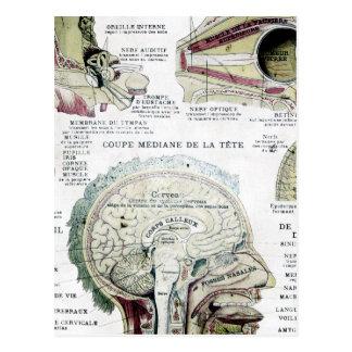 Carte postale française vintage d anatomie