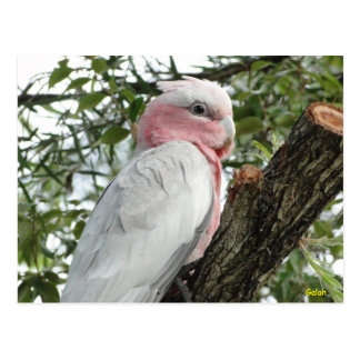 Carte Postale Galah (Breasted rose/cacatoès rose)