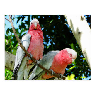 Carte Postale Galahs (Breasted rose/cacatoès roses)