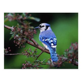 Carte Postale Geai bleu, cristata 2 de Cyaoncitta