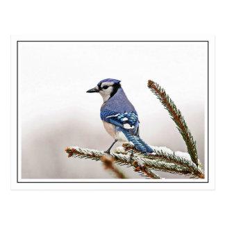Carte Postale Geai bleu en hiver