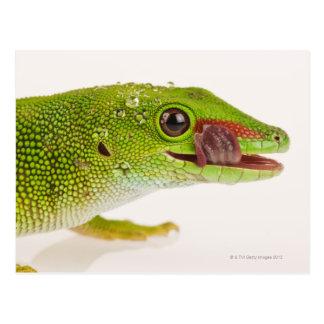 Carte Postale Gecko de jour du Madagascar (madagascariensis de