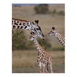 Carte Postale Girafe de Maasai (girafe Tippelskirchi) comme vu