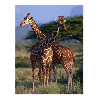 Carte Postale Girafe réticulée 2