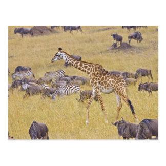 Carte Postale Girafes de Maasai errant à travers le Maasai Mara
