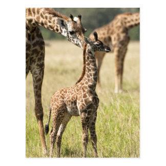 Carte Postale Girafes de masai, camelopardalis 2 de Giraffa