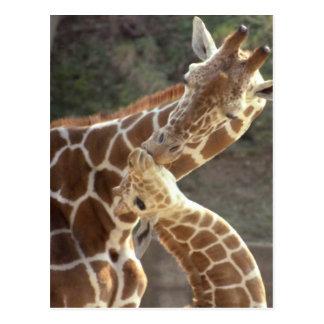 Carte Postale girafes réticulées