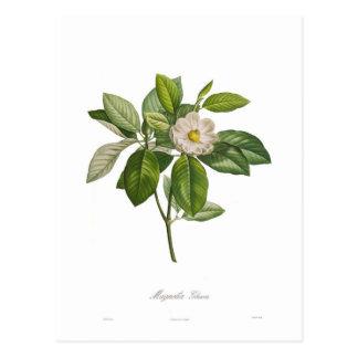 Carte Postale Glauca de magnolia
