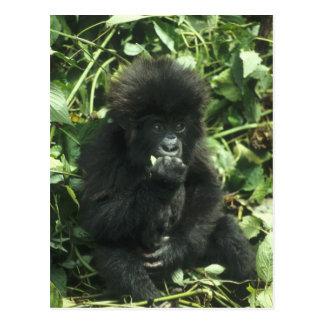 Carte Postale Gorille de montagne, (beringei de gorille de