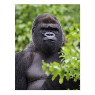 Carte Postale Gorille de plaine de Silverback, gorille de